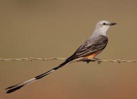 Tijerillo (Tyrannus forficatus) Tomado de: https://www.allaboutbirds.org/guide/Scissor-tailed_Flycatcher/lifehistory