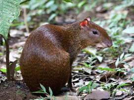 Guatuza (Dasyprocta punctata). Tomado de; http://naturalista.conabio.gob.mx/taxa/43712-Dasyprocta-punctata