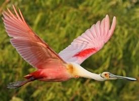 Espátula Rosada (Platalea ajaja). Tomado de: https://www.allaboutbirds.org/guide/Roseate_Spoonbill/id