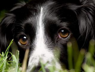 Contato visual é essencial na comunicação entre cães e tutores