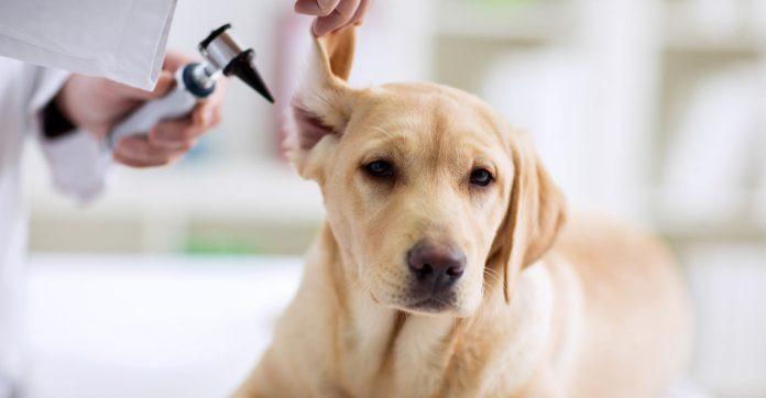 Procedimento clínico de otoscopia em um cão