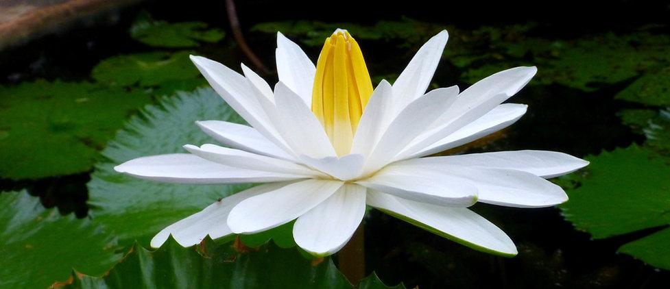 lotus 3 - Kopie.jpg