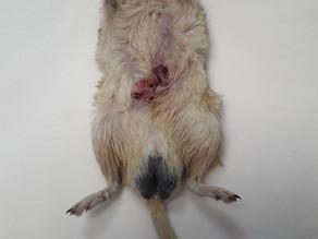 Guz gruczołu zapachowego u myszoskoczka