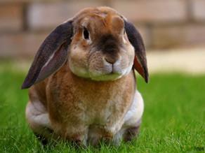 Niedrożność jelit u królika