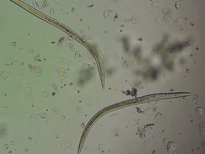 Pelodera strongyloides - węgorki u świnki morskiej