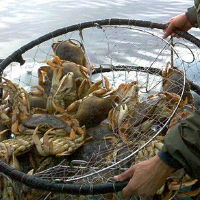 North Coast Commercial Crab Fishery Remains Delayed