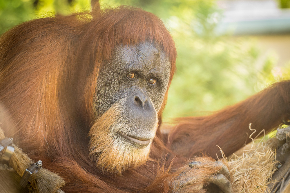 Inji, the Oregon Zoo's ultra-geriatric Sumatran orangutan, turned 59 this month and believed to be the oldest orangutan on the planet. Photo by Michael Durham, courtesy of the Oregon Zoo.