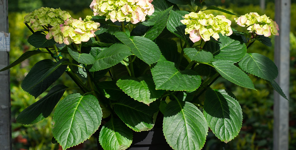 Hortensia lichtroze