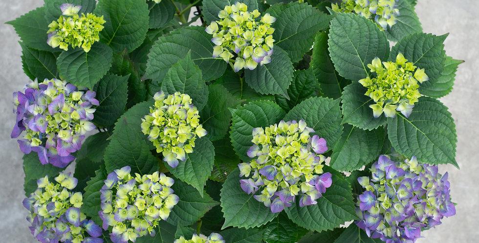 Hortensia paars