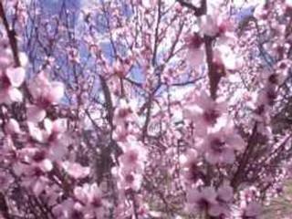 blossoms Kath Unsworth