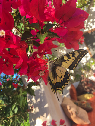 Swallowtail Butterfly at Casa Isadora