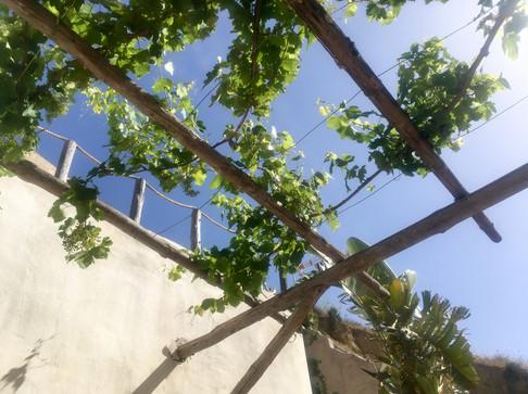 Grapevines at Casa Isadora