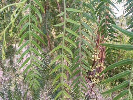 Pepper tree, Casa Isadora