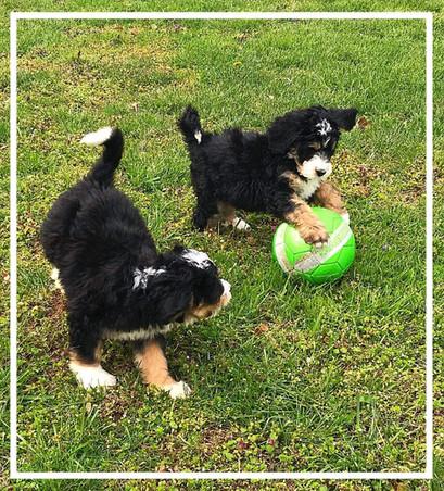 BERNEDOODLE PUPS