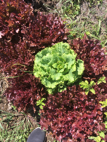 lettus varieties