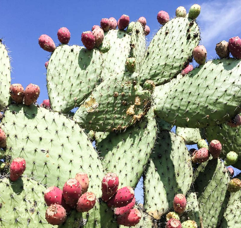tuna- the fruit of the cactus