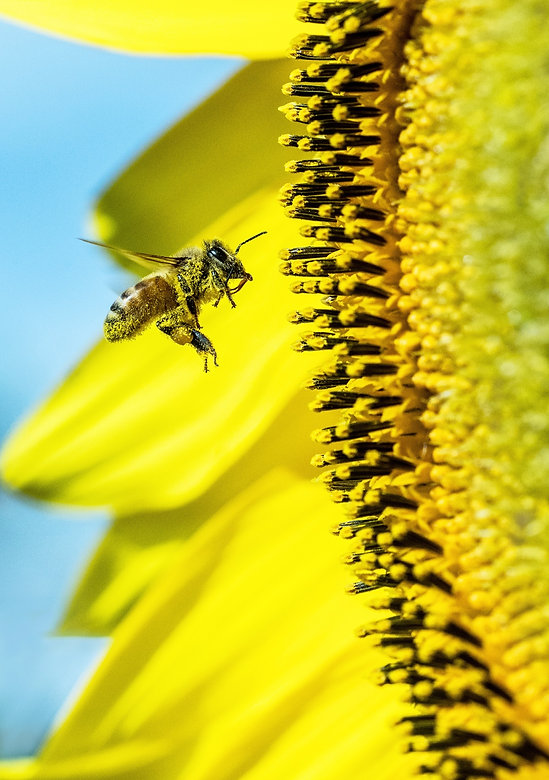Bees work very hard and do a fantastic job of cross pollinating fruit trees, vegetable flowers, etc.