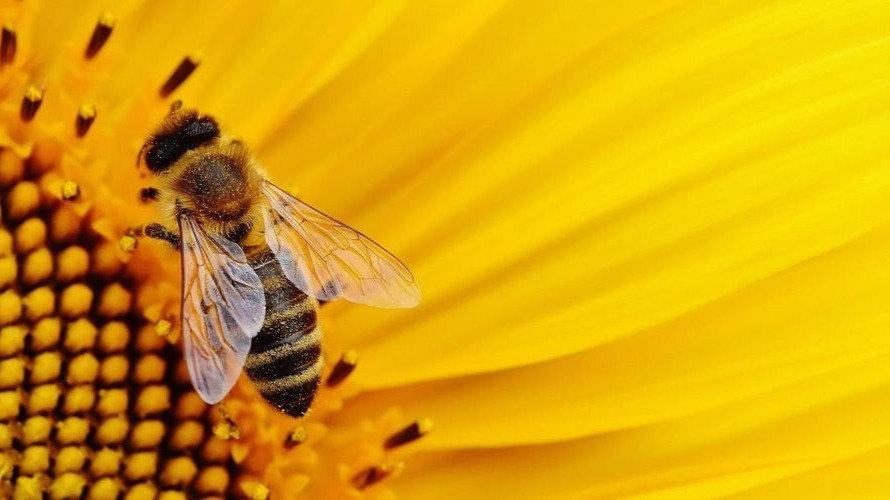 Bee with Sunflower Short.jpg
