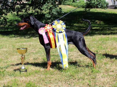 Swedish Dobermann Winner