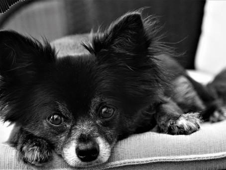 Adoção de um Cão Vira-Lata