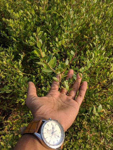 Henna Plant