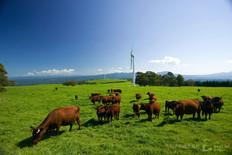 稲庭高原短角牛放牧