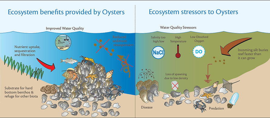 ecosystem benefits provided by oysters