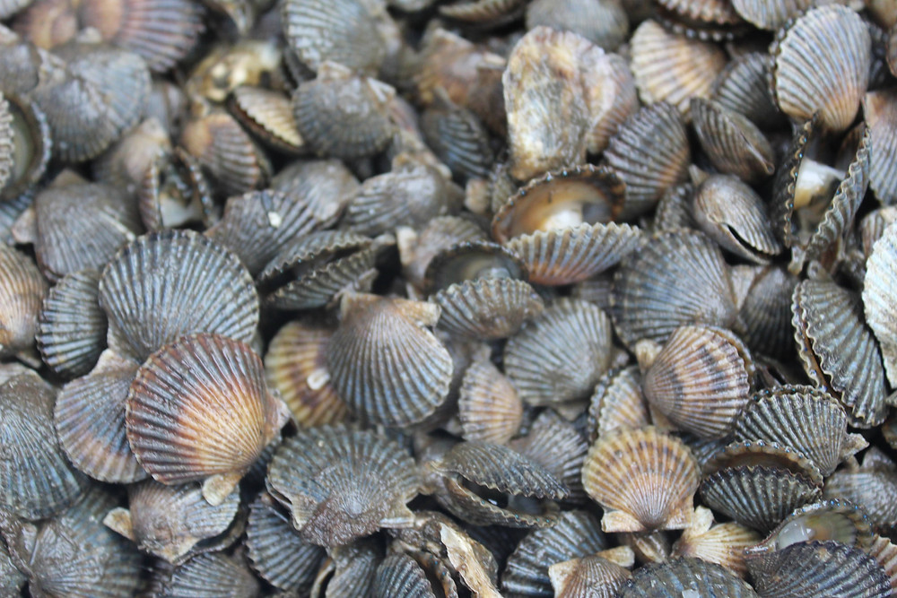 A large quantity of Niantic Bay Scallops