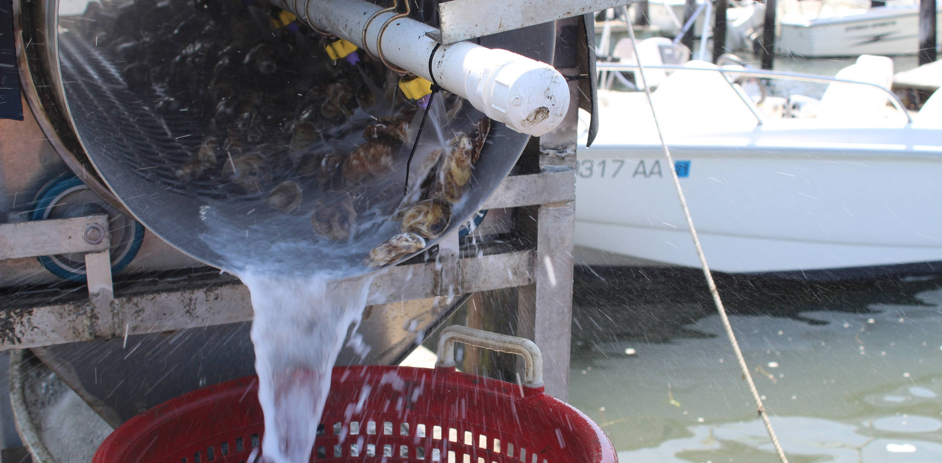 Oysters Being Tumbled