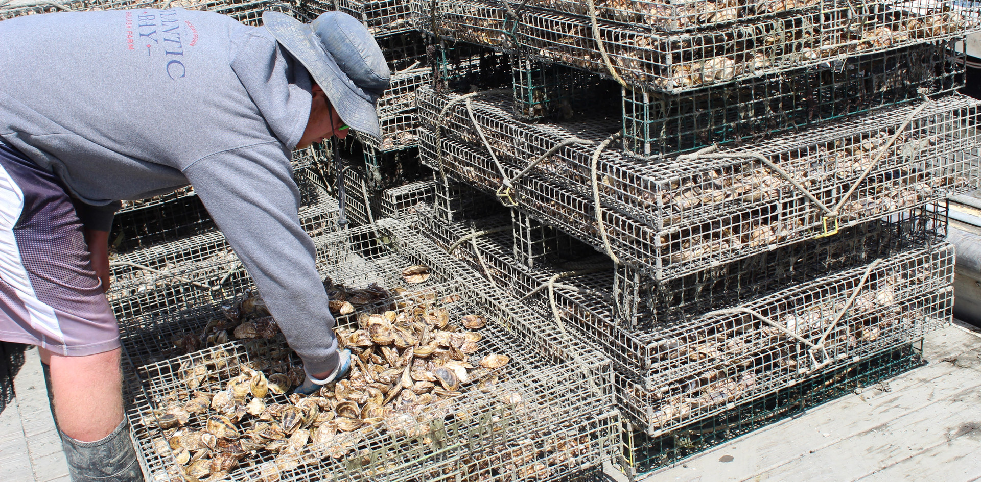 Michael Packing Oysters to be Put Back Out In the Bay