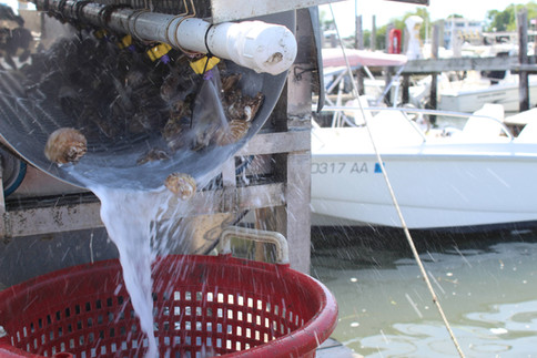 Oysters Going Through Our Tumbler