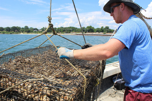 """Tray of Oysters Being Hauled Aboard the """"Elizabeth Marie"""""""
