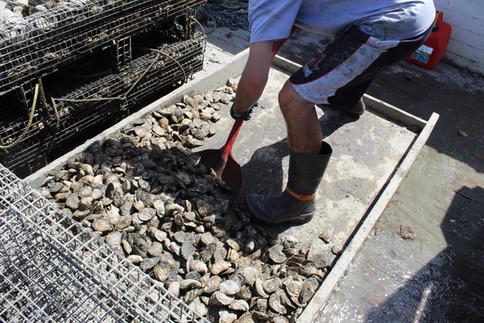 Anthony Shoveling Oysters into Tumbler