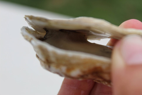 Adductor muscle of an Oyster