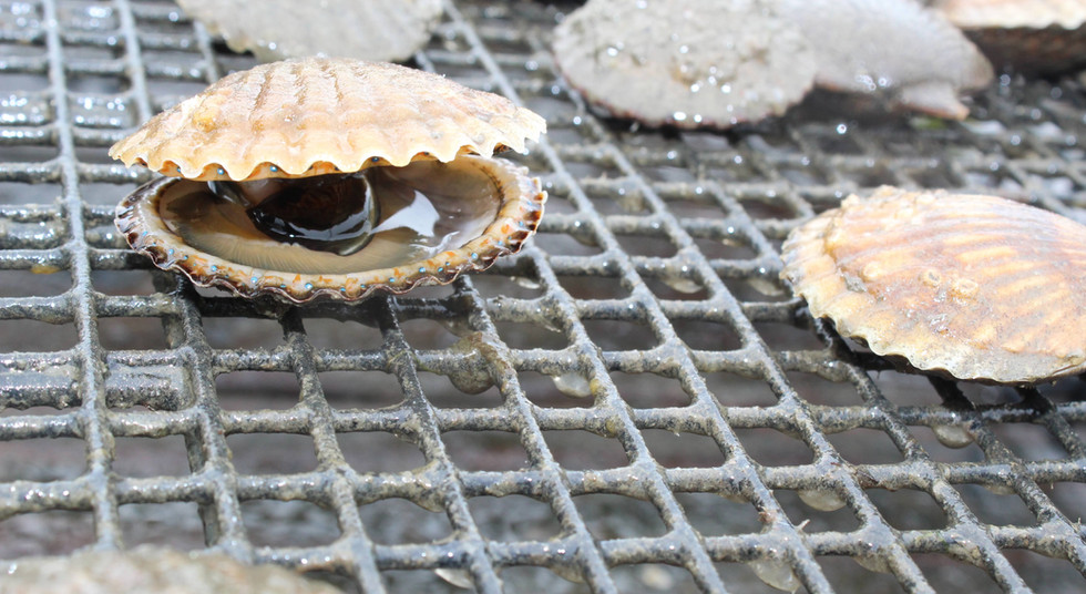 We Are the Exclusive Distributor of Niantic Bay Scallops