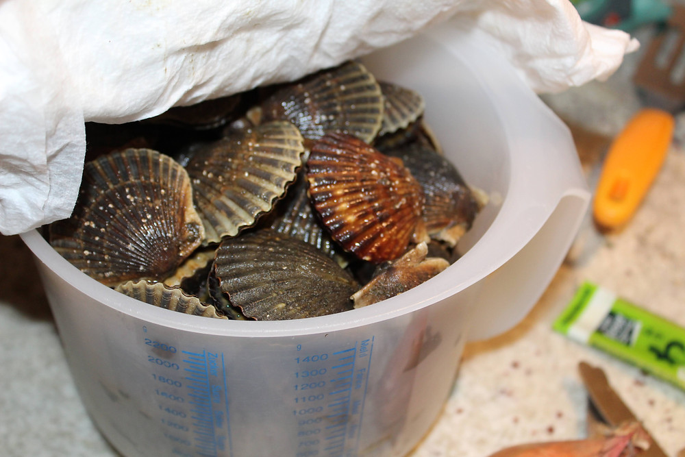 Niantic Bay Scallops in a plastic bowl with a towel covering