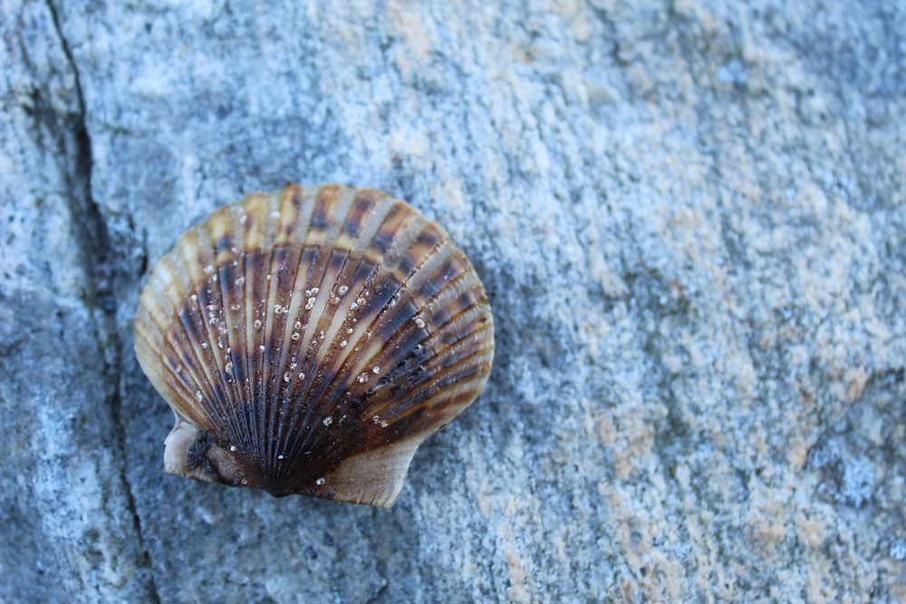 A Niantic Bay Scallop on stone