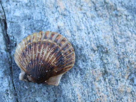 The Niantic Bay Scallop: Our History, Our Culture