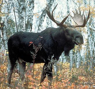 Moose_superior.jpg