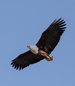 bald-eagle-1402163.jpg