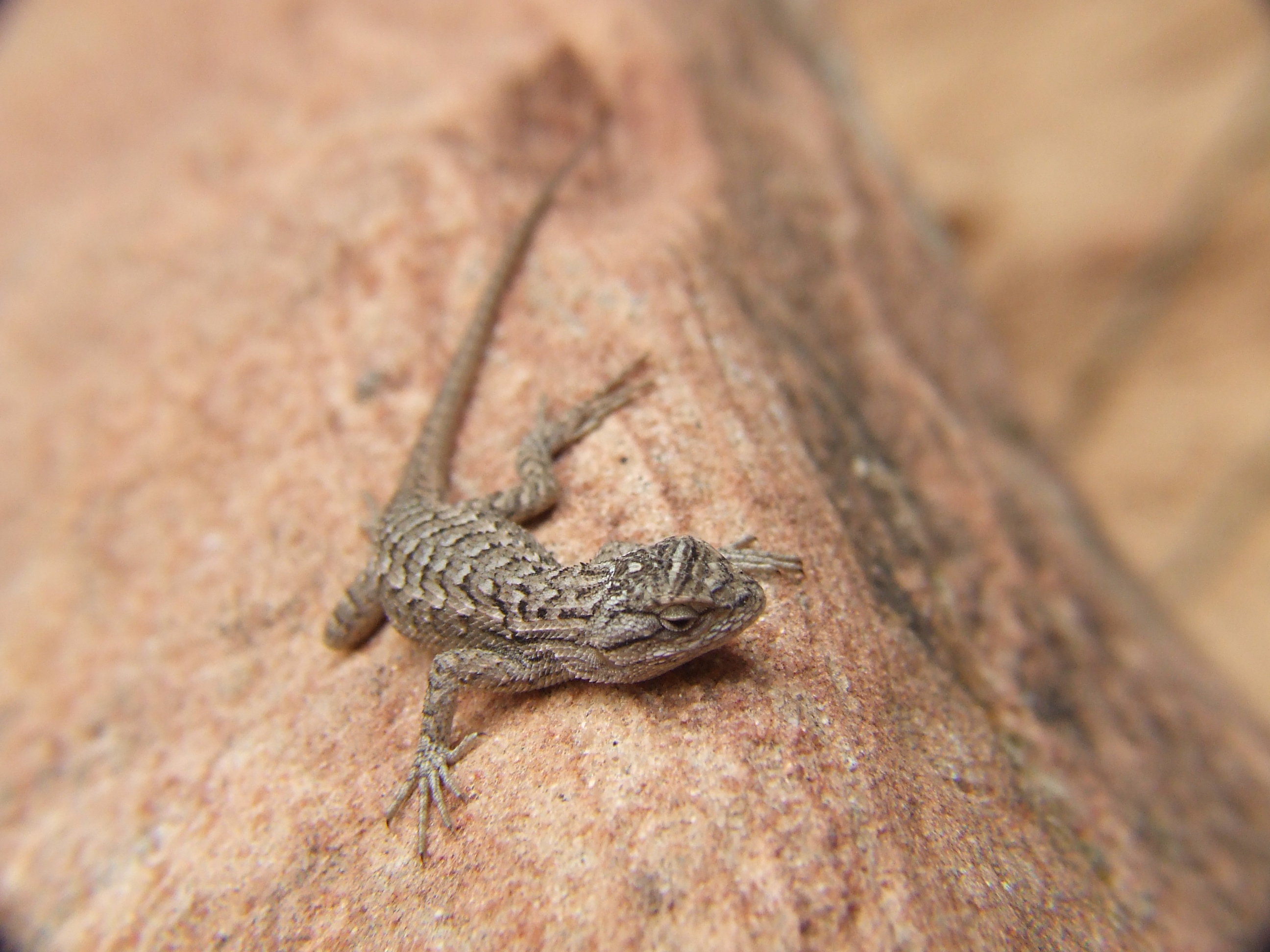 Zion Lizard
