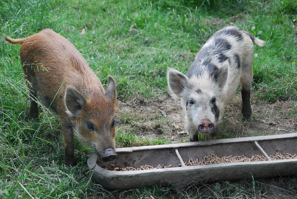 Kune Kune x wild boar pigs.jpg