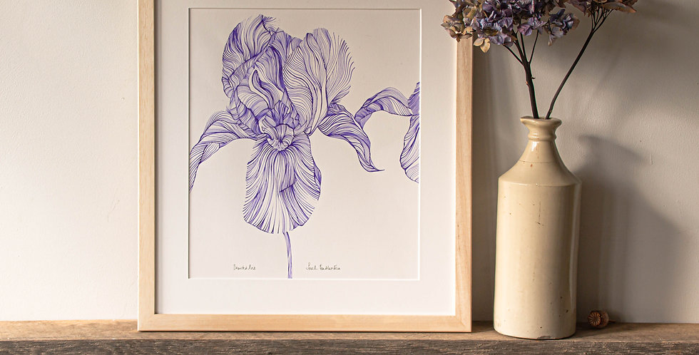 Bearded Iris Line Drawing