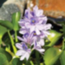 plants_floating_water_hyacinth_1000.jpg