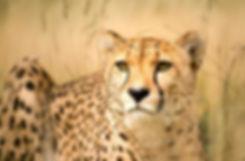 CheetaMen3.jpg