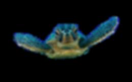 Loggerhead-sea-turtle-588x368_edited.png