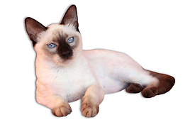 Siamese2.png