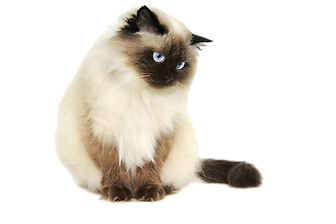 Siamese4.png