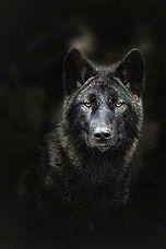 BlackWolf.jpg