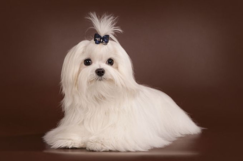 Maltese-Dog-Origins.jpg